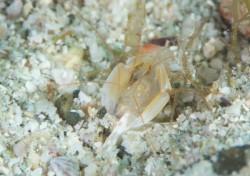 サンゴヒメエビ属の一種 ログ