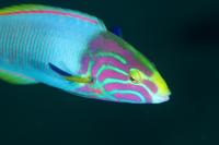 ヤマブキベラオス