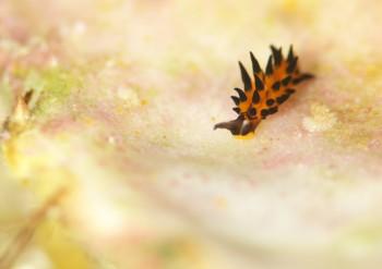 ツマグロモウミウシ