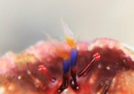 シュードパグリステス・モノポルス