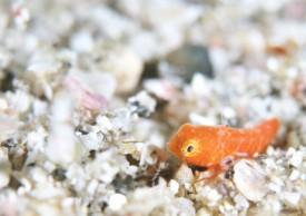 テグリ系の幼魚