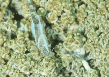 アザミカクレモエビ