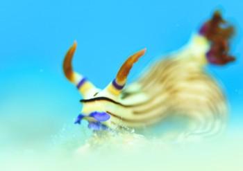 クロスジリュウグウウミウシ