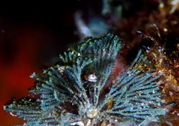 クロスジリュウグウウミウシ亜科の1種