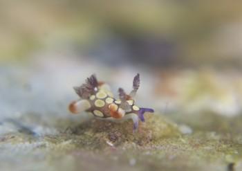 シラタマツガルウミウシ