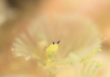 コミドリリュウグウウミウシ