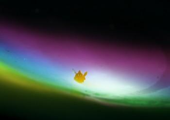 アカズキンリュウグウウミウシ