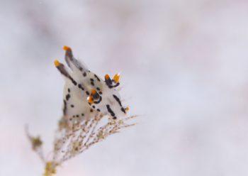 ツノザヤウミウシ