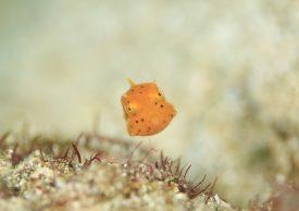シマウミスズメ?幼魚