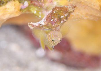 ベンケイハゼ幼魚?