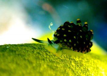 アオモウミウシ