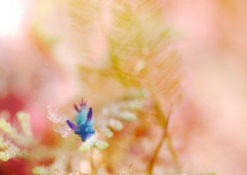 ミドリリュウグウウミウシ